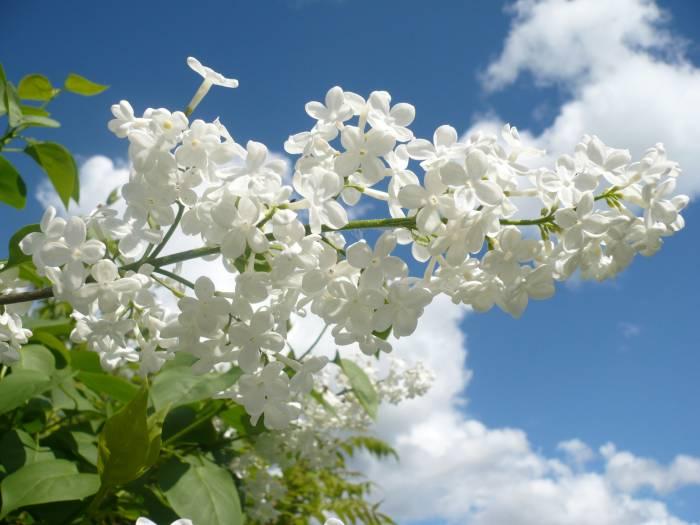 Цветет белая сирень