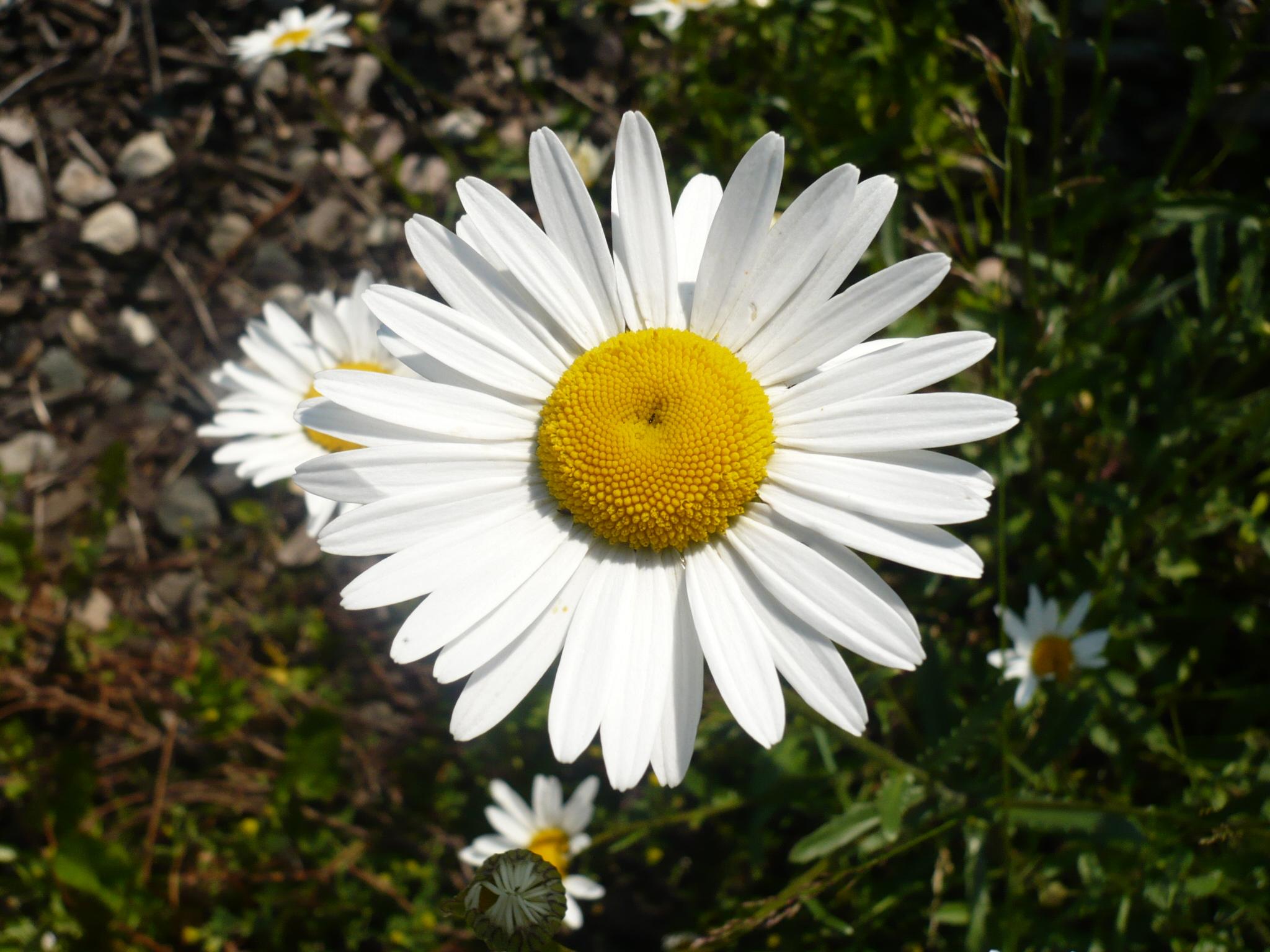 Как называется цветок похожий на ромашку фото и названия